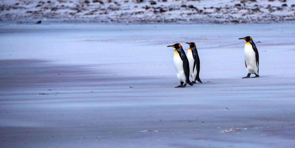 pinguini imperatore isole falkland