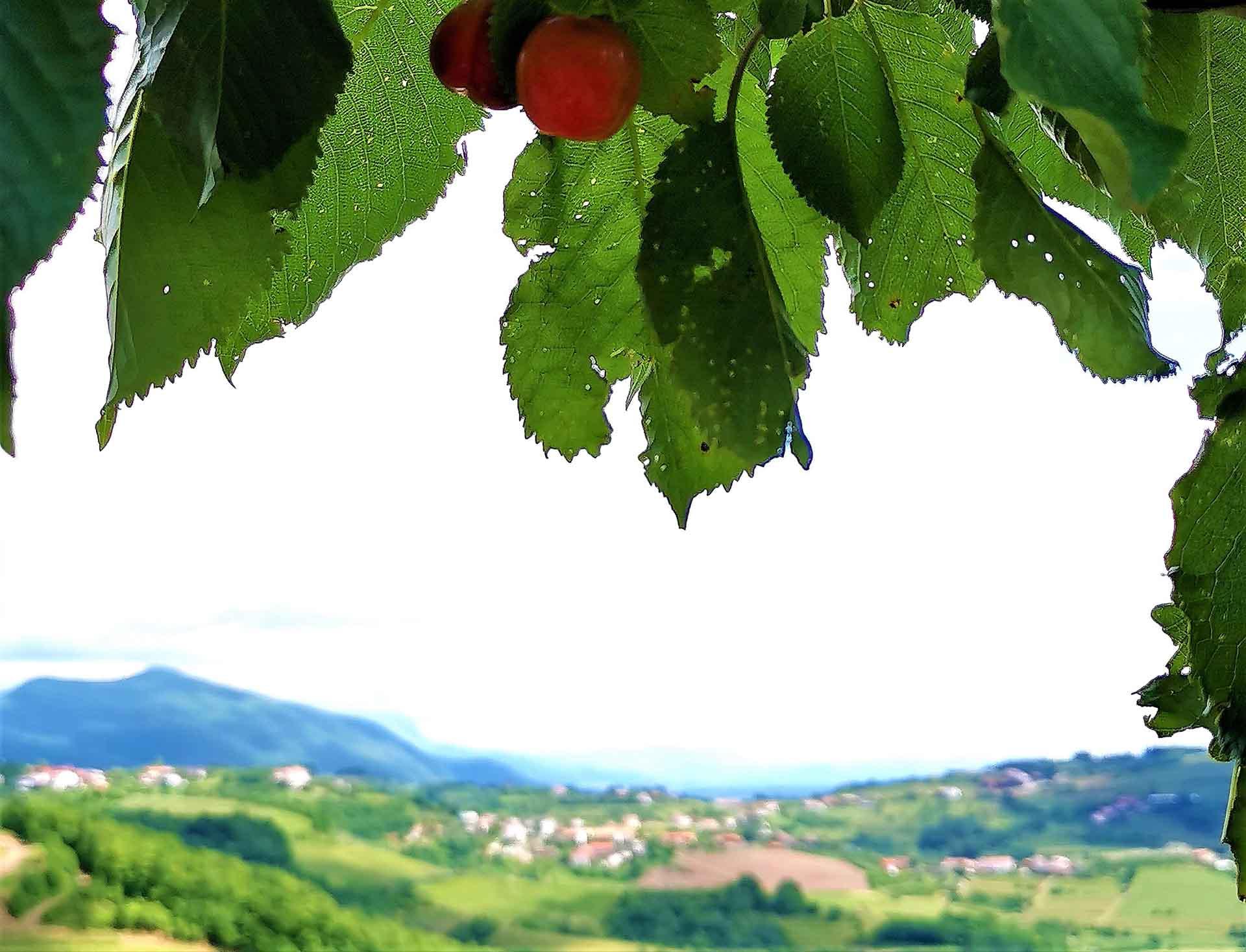 Albero di ciliegie e panorama a brda in Slovenia