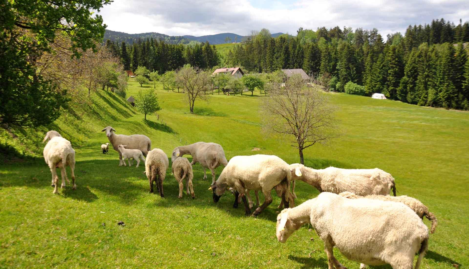allevamento di pecore in slovenia nella regione della koroska